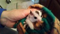 Sugar Glider Animals for sale in Baileyville, ME 04694, USA. price: NA