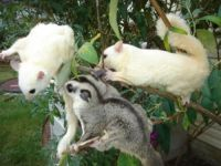 Sugar Glider Animals for sale in Worcester, VT 05682, USA. price: NA