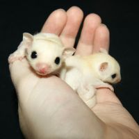 Sugar Glider Animals for sale in Zion, IL 60099, USA. price: NA