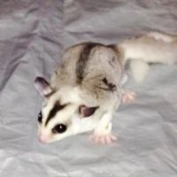 Sugar Glider Animals for sale in Yorktown Heights, NY 10598, USA. price: NA