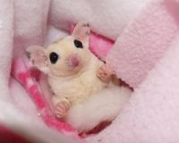 Sugar Glider Animals for sale in Woodville, AL 35776, USA. price: NA