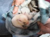 Sugar Glider Animals for sale in Billings, MT, USA. price: NA
