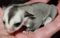 Sugar Glider Animals for sale in Carpenter, WY 82054, USA. price: NA