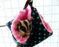 Sugar Glider Animals for sale in Hialeah, FL, USA. price: NA