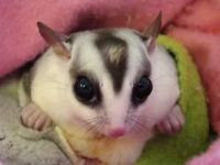 Sugar Glider Animals for sale in Camden Wyoming, Camden, DE 19934, USA. price: NA