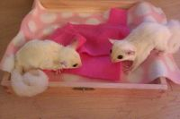 Sugar Glider Animals for sale in Gresham, OR, USA. price: NA