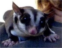 Sugar Glider Animals for sale in Asheville, NC, USA. price: NA