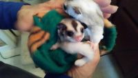 Sugar Glider Animals for sale in Bridgeport, CT, USA. price: NA