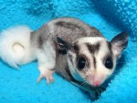 Sugar Glider Animals for sale in Aurora, IL, USA. price: NA