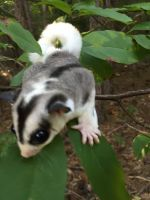 Sugar Glider Animals for sale in Baton Rouge, LA, USA. price: NA