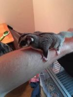 Sugar Glider Animals for sale in Worcester, MA, USA. price: NA