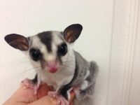 Sugar Glider Animals for sale in Ann Arbor, MI, USA. price: NA