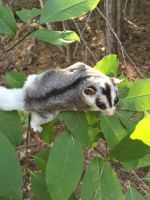 Sugar Glider Animals for sale in Henderson, NV, USA. price: NA