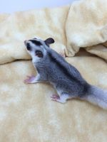 Sugar Glider Animals for sale in Allentown, PA, USA. price: NA