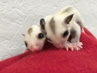 Sugar Glider Animals for sale in Salt Lake City, UT, USA. price: NA