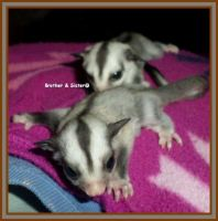 Sugar Glider Animals for sale in Buford, GA, USA. price: NA