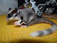 Sugar Glider Animals for sale in Arlington, VA, USA. price: NA