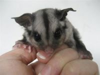 Sugar Glider Animals for sale in Bakersfield, CA, USA. price: NA
