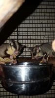 Sugar Glider Animals for sale in Colorado Springs, CO, USA. price: NA