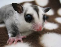 Sugar Glider Animals for sale in Charlotte, NC, USA. price: NA
