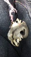 Sugar Glider Animals for sale in Batavia, OH 45103, USA. price: NA