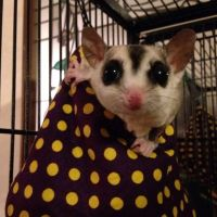 Sugar Glider Animals for sale in Ohio Dr, Plano, TX, USA. price: NA