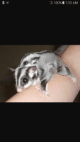 Sugar Glider Animals for sale in St Charles, MO, USA. price: NA