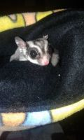 Sugar Glider Animals for sale in Pennsylvania Ave NW, Washington, DC, USA. price: NA