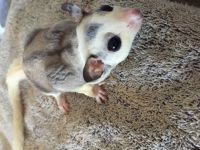Sugar Glider Animals for sale in Orono, ME 04469, USA. price: NA