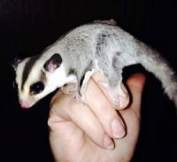 Sugar Glider Animals for sale in Dallas, TX 75205, USA. price: NA