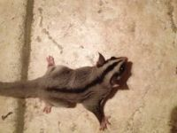 Sugar Glider Animals for sale in Brunswick, GA, USA. price: NA
