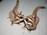 Sugar Glider Animals for sale in Washington, DC 20001, USA. price: NA