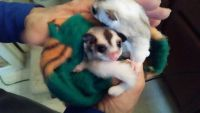Sugar Glider Animals for sale in Jacksonville, FL 32204, USA. price: NA