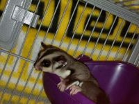 Sugar Glider Animals for sale in NW Topeka Blvd, Topeka, KS, USA. price: NA