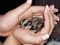 Sugar Glider Animals for sale in Buffalo State, Buffalo, NY, USA. price: NA
