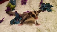 Sugar Glider Animals for sale in Greenville, SC, USA. price: NA
