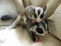 Sugar Glider Animals for sale in Lake Trail Dr, Kenner, LA 70065, USA. price: NA