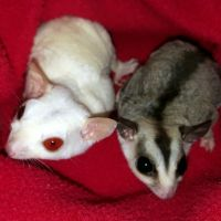 Sugar Glider Animals for sale in York, SC 29745, USA. price: NA