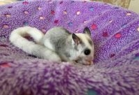 Sugar Glider Animals for sale in Rockford, IL 61103, USA. price: NA