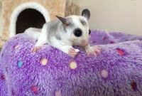 Sugar Glider Animals for sale in Clover, SC 29710, USA. price: NA