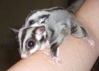 Sugar Glider Animals for sale in Alabama Ave SE, Washington, DC, USA. price: NA