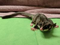Sugar Glider Animals for sale in New York Marriott Marquis, New York, NY 10036, USA. price: NA