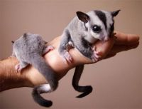 Sugar Glider Animals for sale in Winston-Salem, NC, USA. price: NA