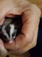 Sugar Glider Animals for sale in Norwalk, CA, USA. price: NA