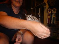 Sugar Glider Animals for sale in Tucson, AZ, USA. price: NA