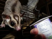 Sugar Glider Animals for sale in Corpus Christi, TX 78401, USA. price: NA