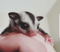 Sugar Glider Animals for sale in Chicago, IL 60601, USA. price: NA