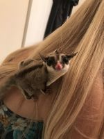 Sugar Glider Animals for sale in Kennesaw, GA, USA. price: NA