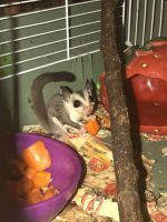 Sugar Glider Animals for sale in San Gabriel, CA, USA. price: NA