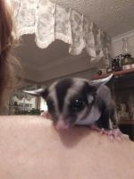 Sugar Glider Animals for sale in Navarre, FL 32566, USA. price: NA